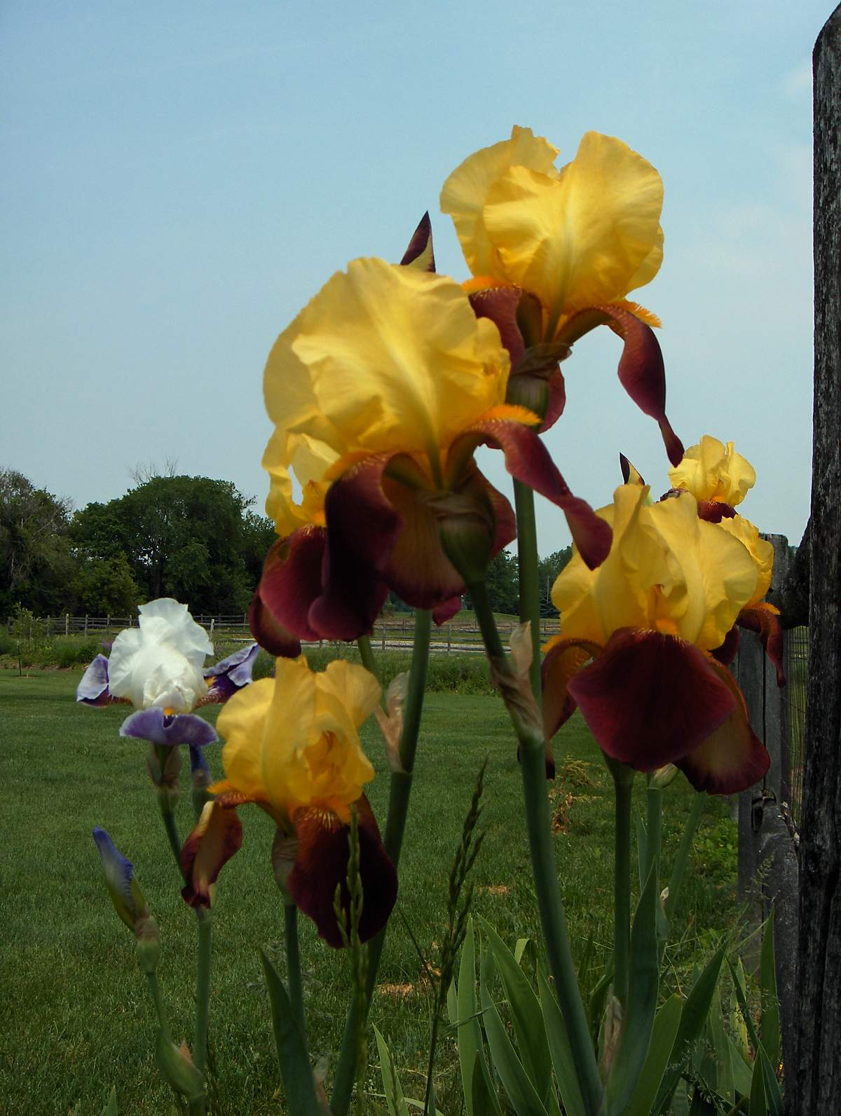 Hi resolution royalty free images of flowers by nora sallows yellow iris image number one izmirmasajfo